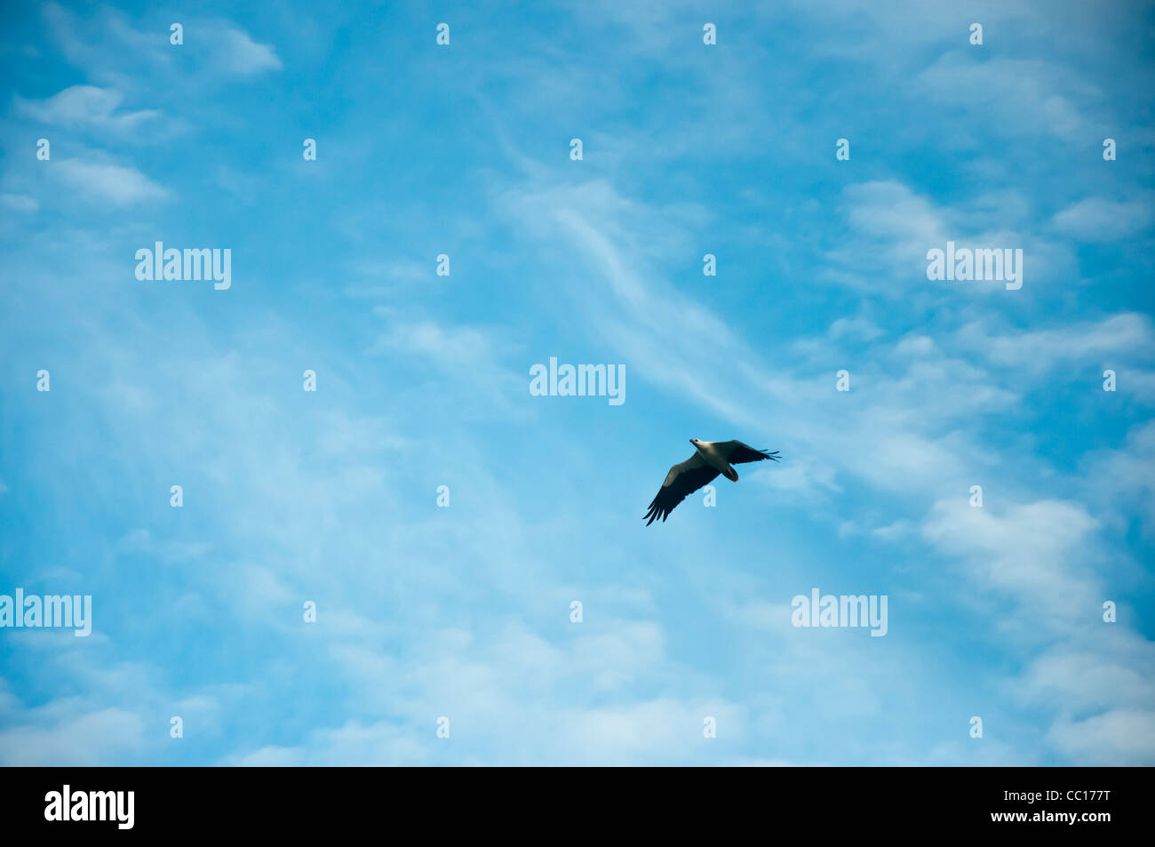An eagle soars to the backdrop of a light blue sky - Stock Image