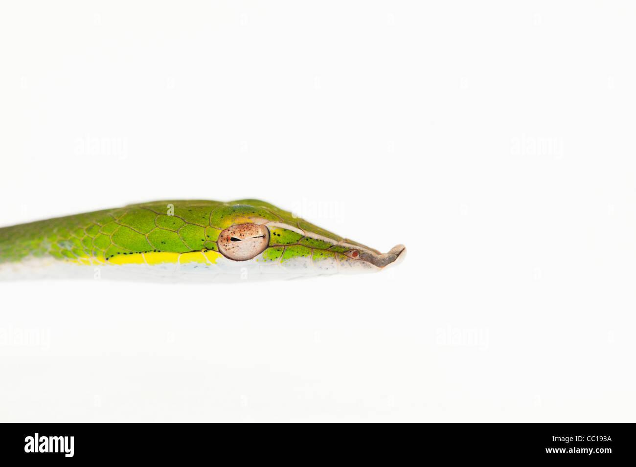 Ahaetulla nasuta . Juvenile Green vine snake on white background - Stock Image