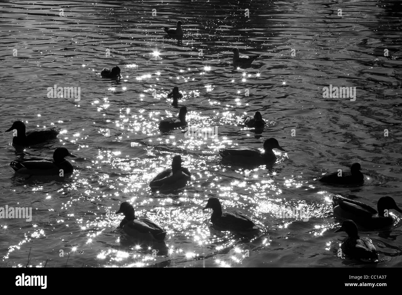 Black and white horizontal silhouette image of many ducks floating on the water, the sparkling light reflecting - Stock Image