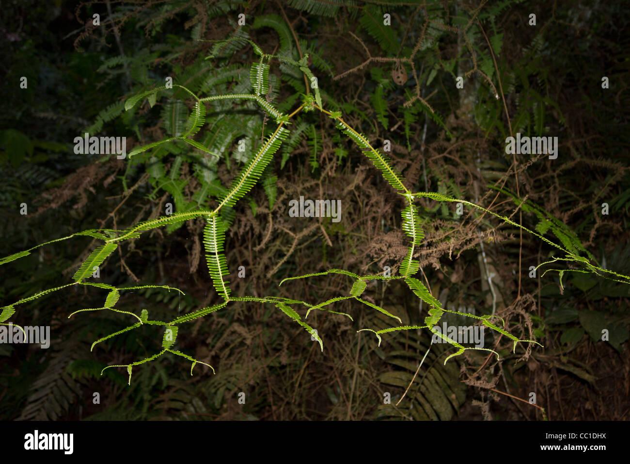 fractal fern, Kuala Lumpur, Malaysia - Stock Image