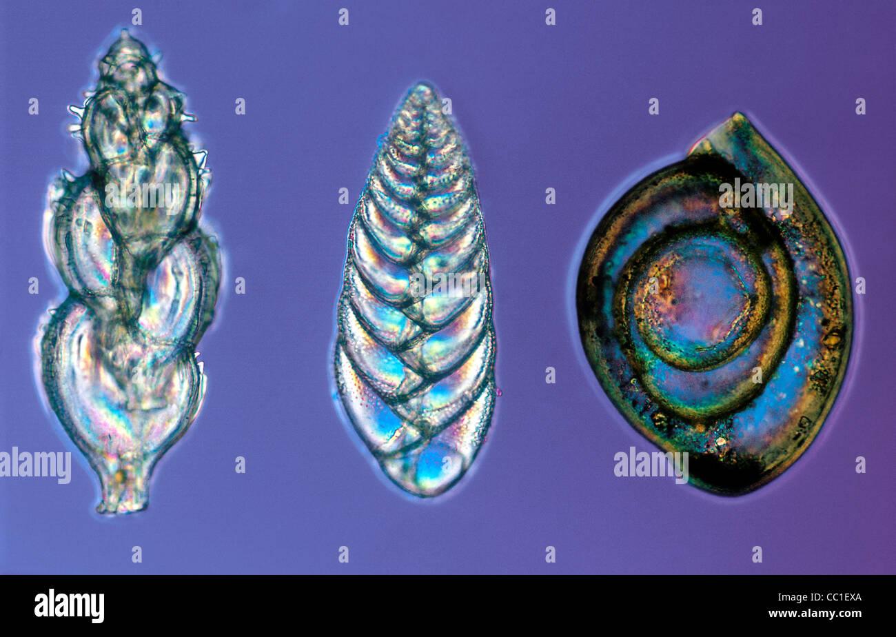 Foraminifera at 100x, Single-Celled Protists - Stock Image