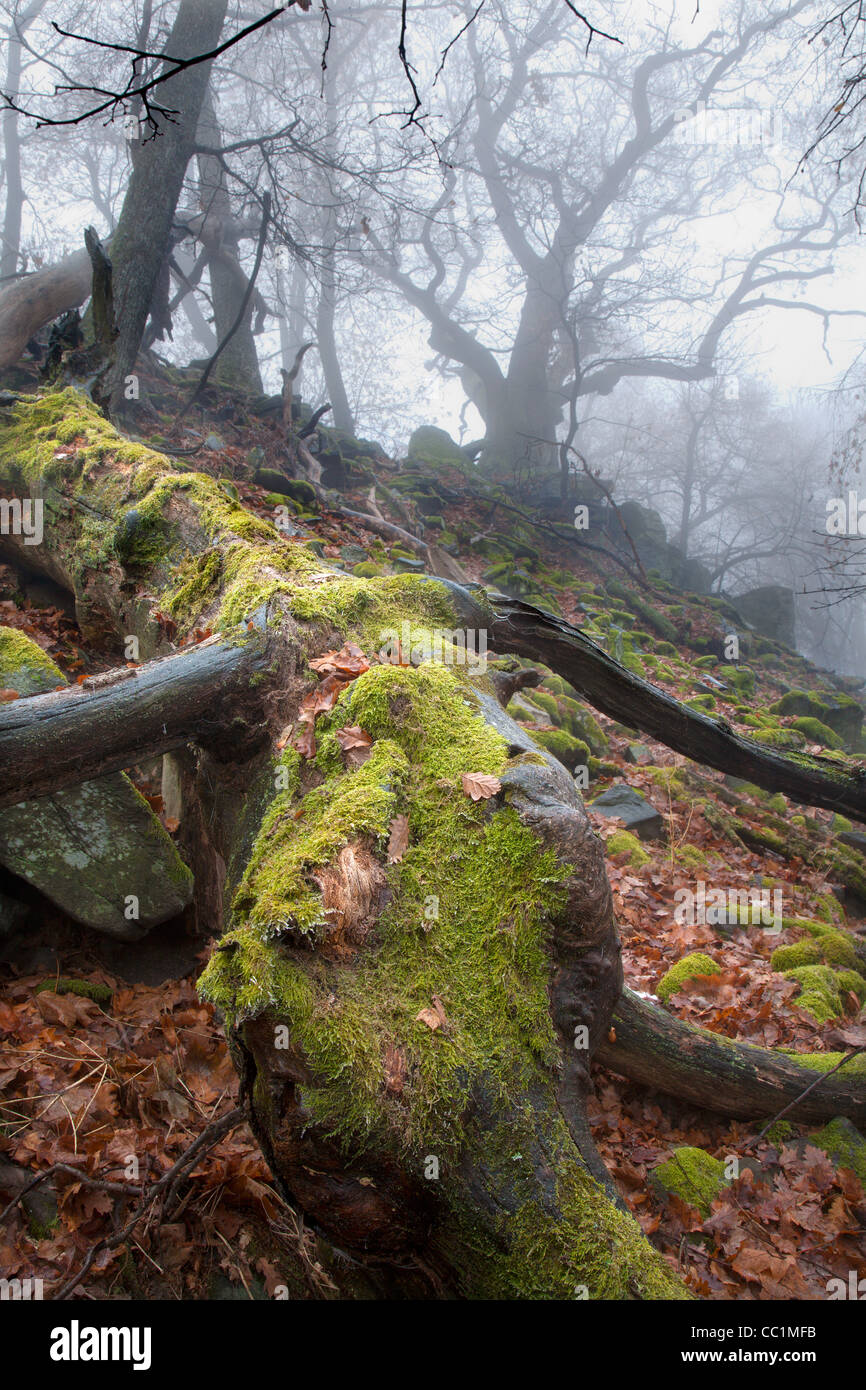 autumn forest in the fog - old stem - Stock Image