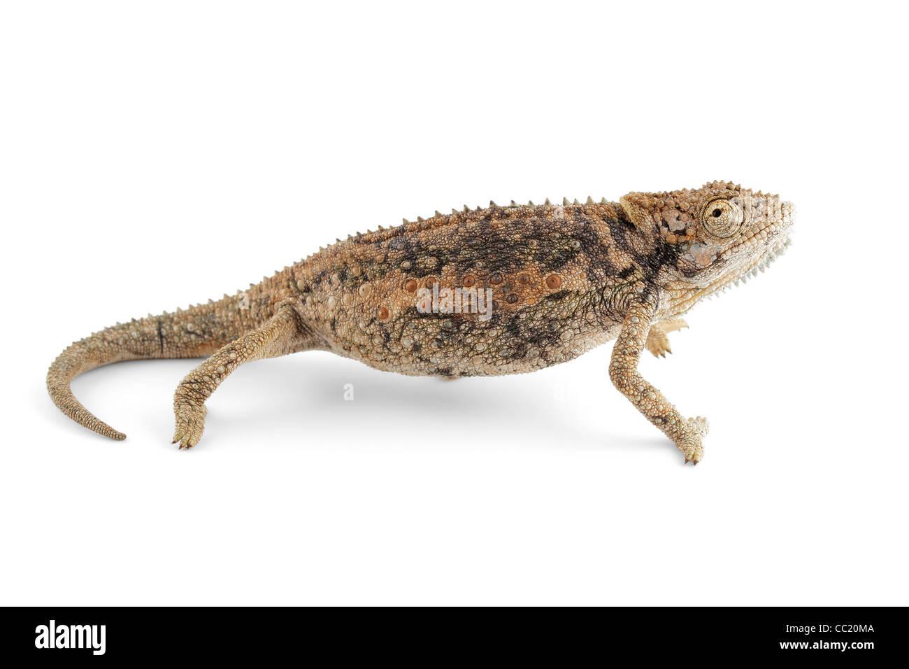 Dwarf African Chameleon (Bradypodium karrooicum) on white - Stock Image