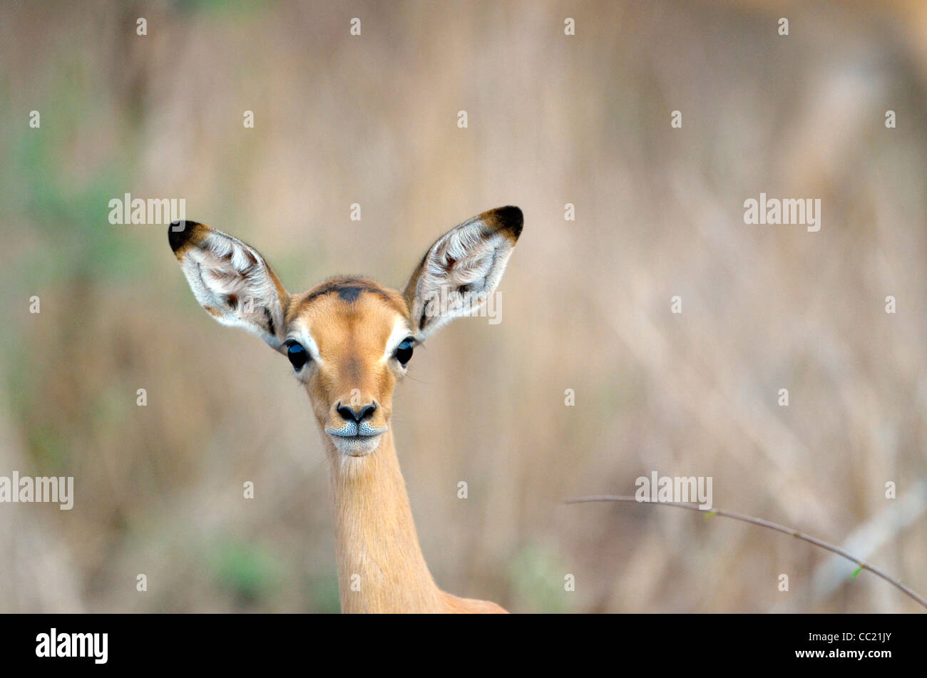 Kruger national Park in South Africa is world famous for do-it-yourself game viewing at affordable rates. Baby impala - Stock Image