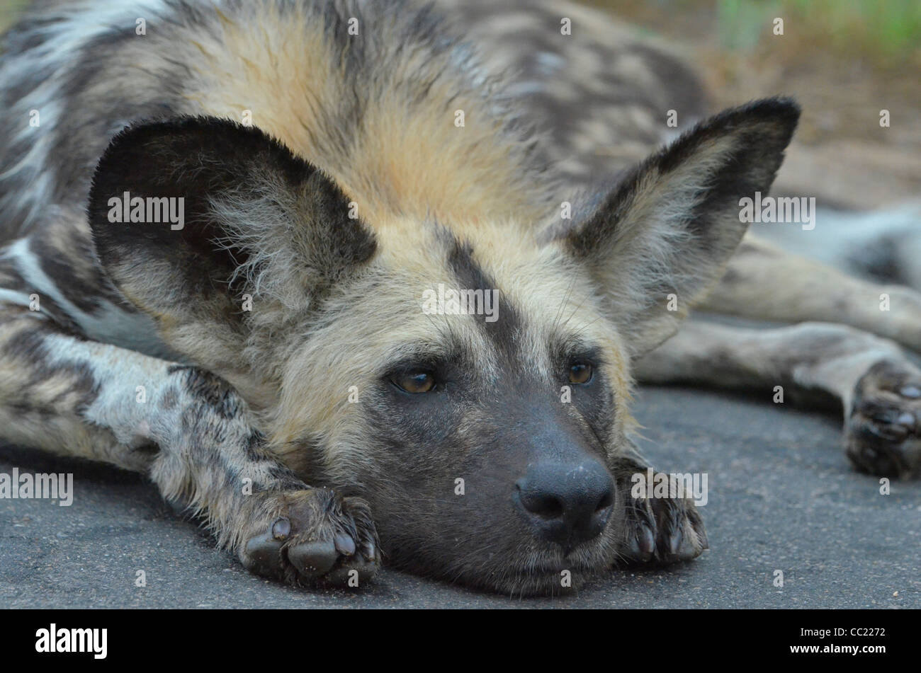 Kruger national Park in South Africa is world famous for do-it-yourself game viewing at affordable rates. Wild dog - Stock Image