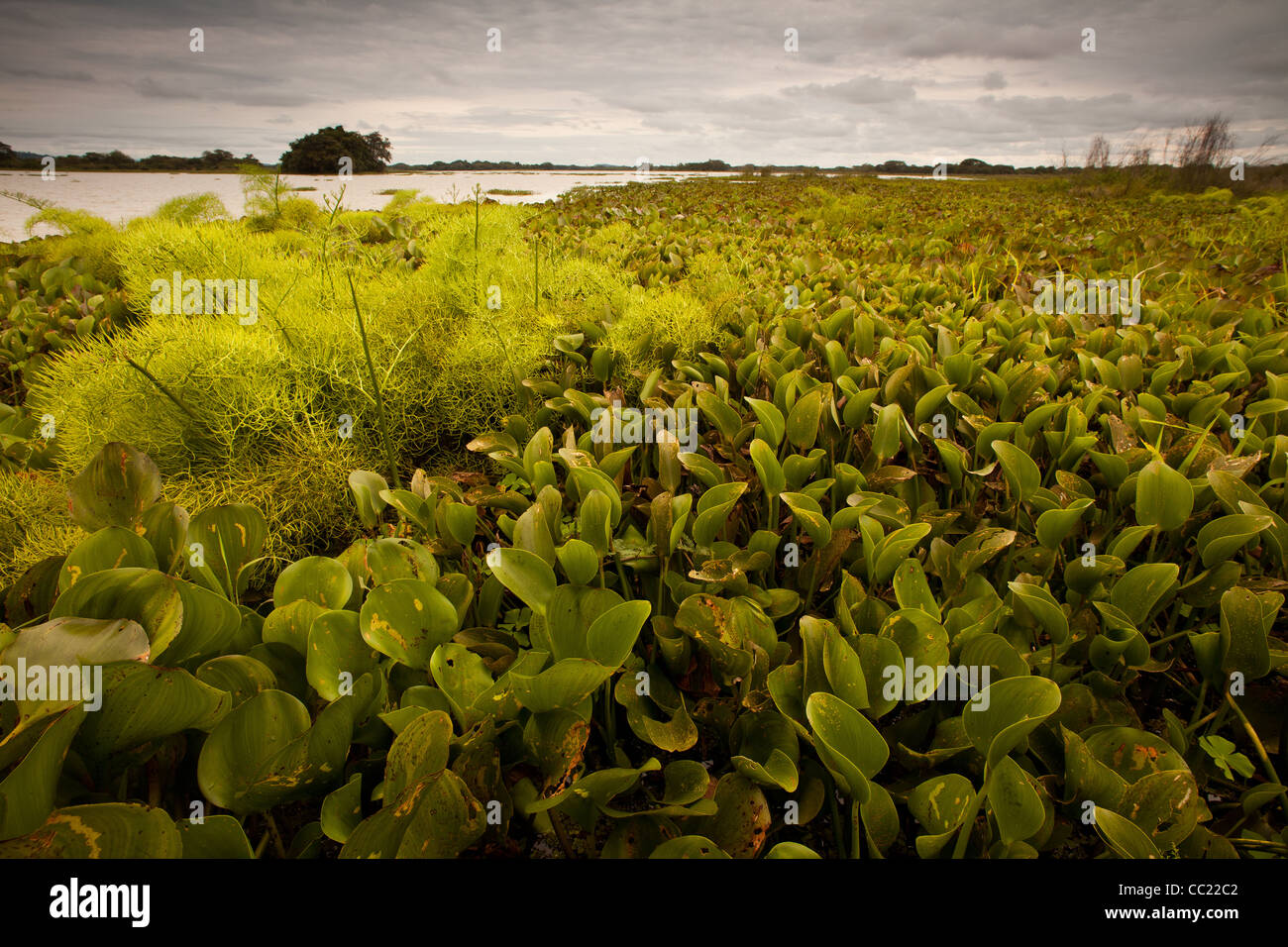 Water plants in Refugio de vida Silvestre Cienaga las Macanas, protected wetlands, in Herrera province, Republic Stock Photo