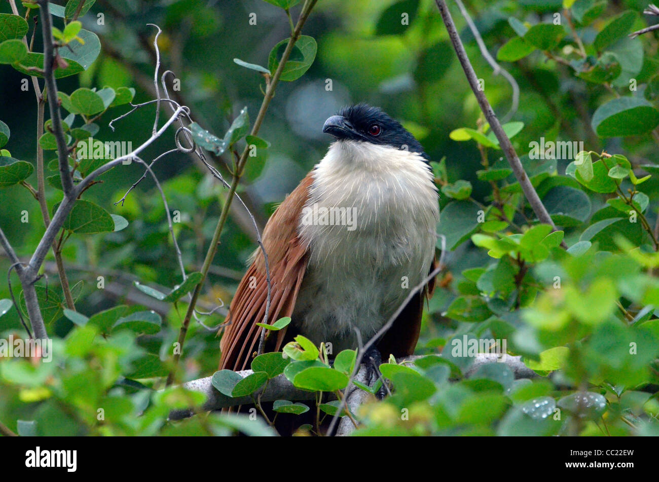 Kruger national Park in South Africa is world famous for do-it-yourself game viewing at affordable rates. Coucal - Stock Image