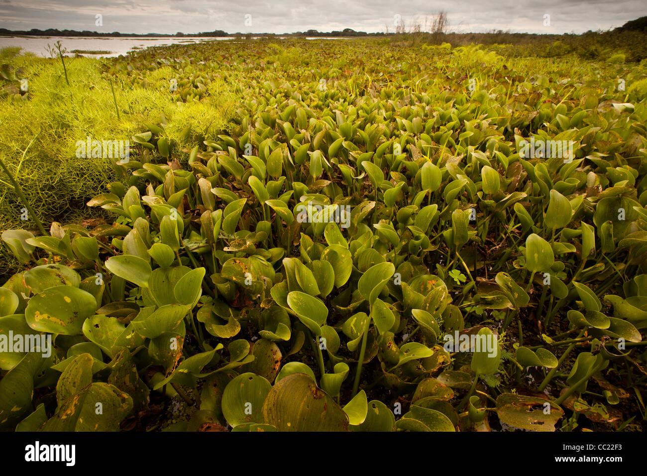 Water plants in Refugio de vida Silvestre Cienaga las Macanas, protected wetlands, in Herrera province, Republic - Stock Image