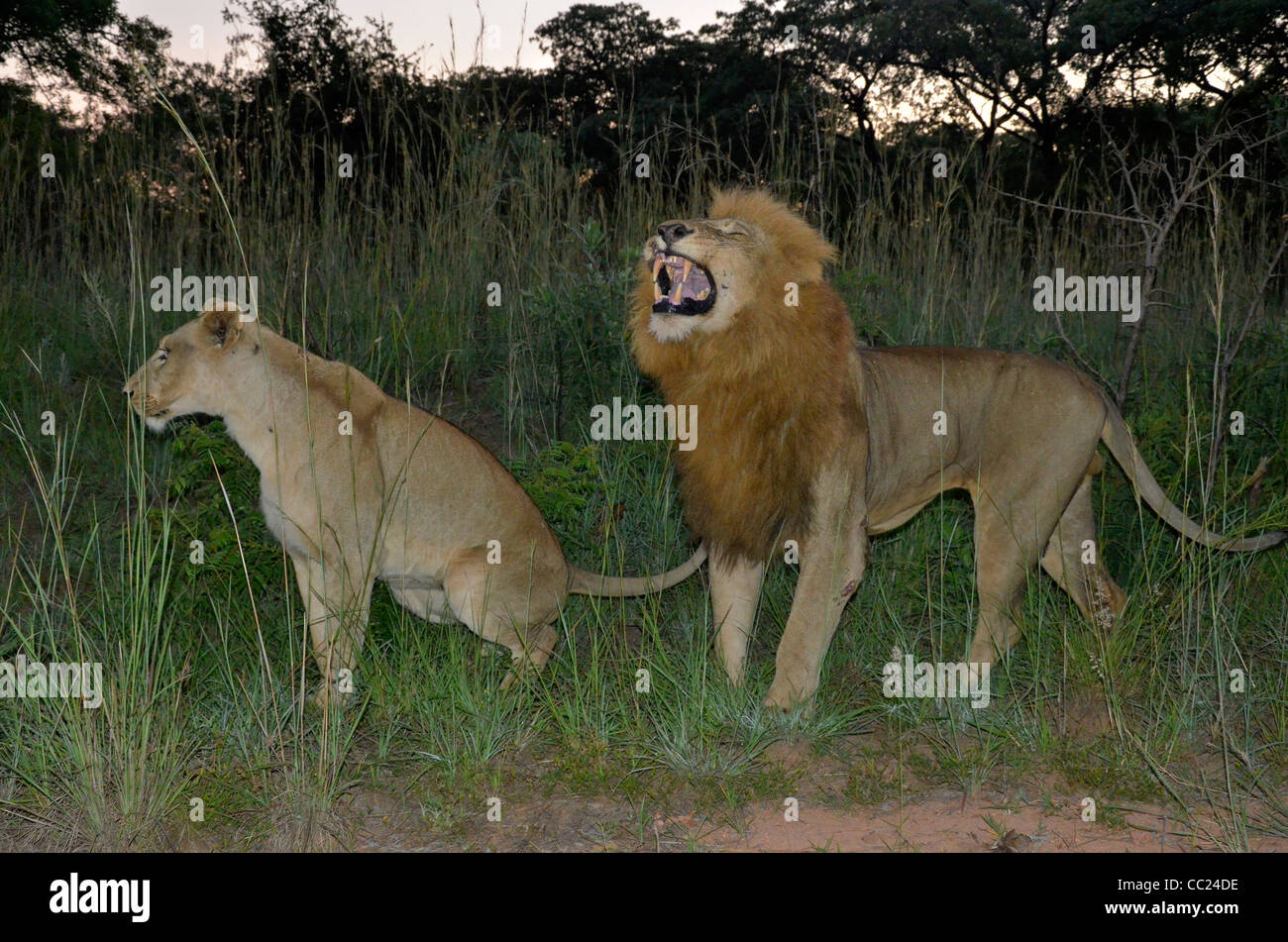Kruger national Park is famous for game viewing. Mating lions at dawn. Female urinates, male shows Flehmen's - Stock Image
