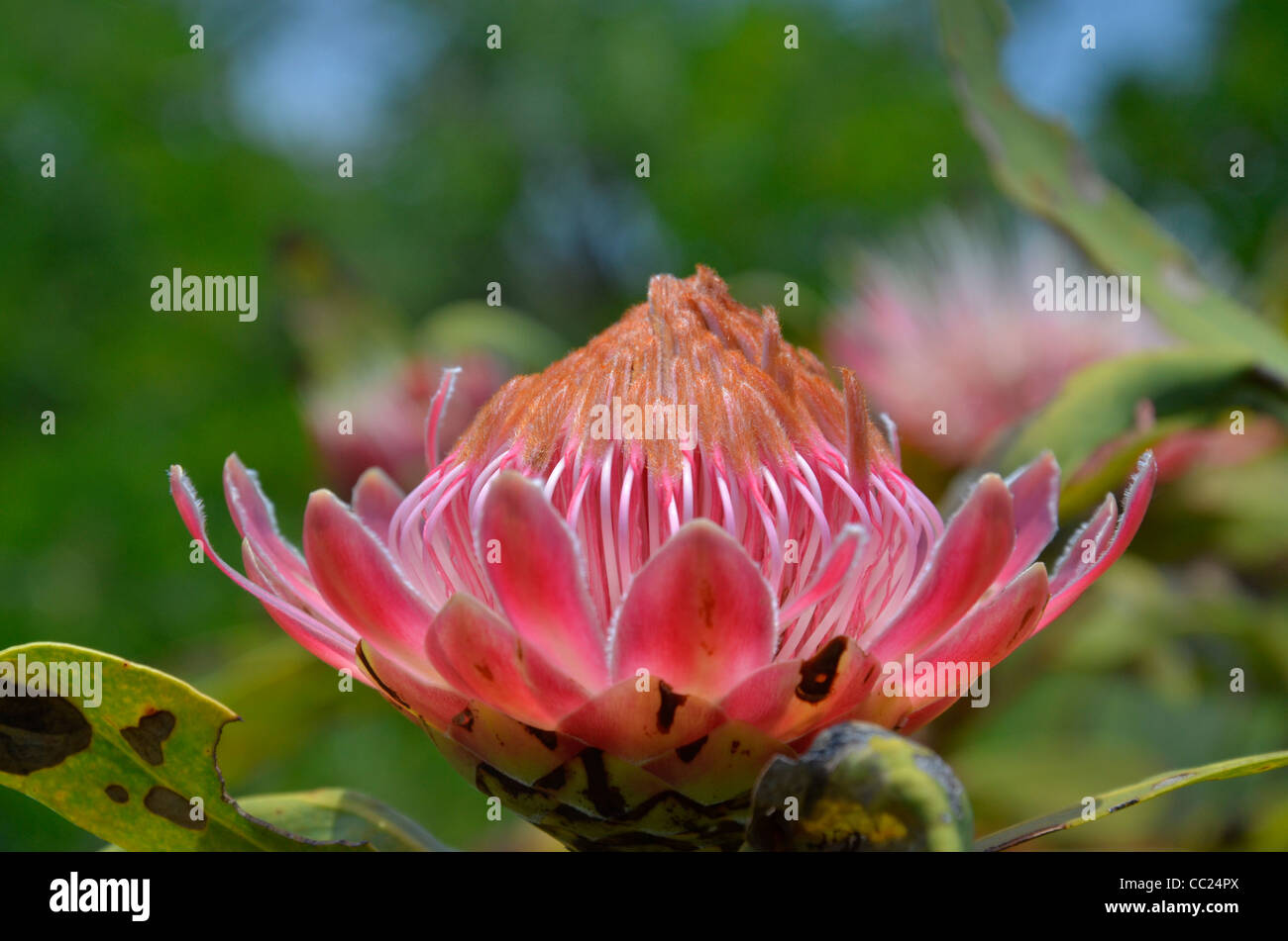 Blyderiver Protea blooming above the canyong on the edge of the Mpumalanga/Limpopo escarpment - Stock Image