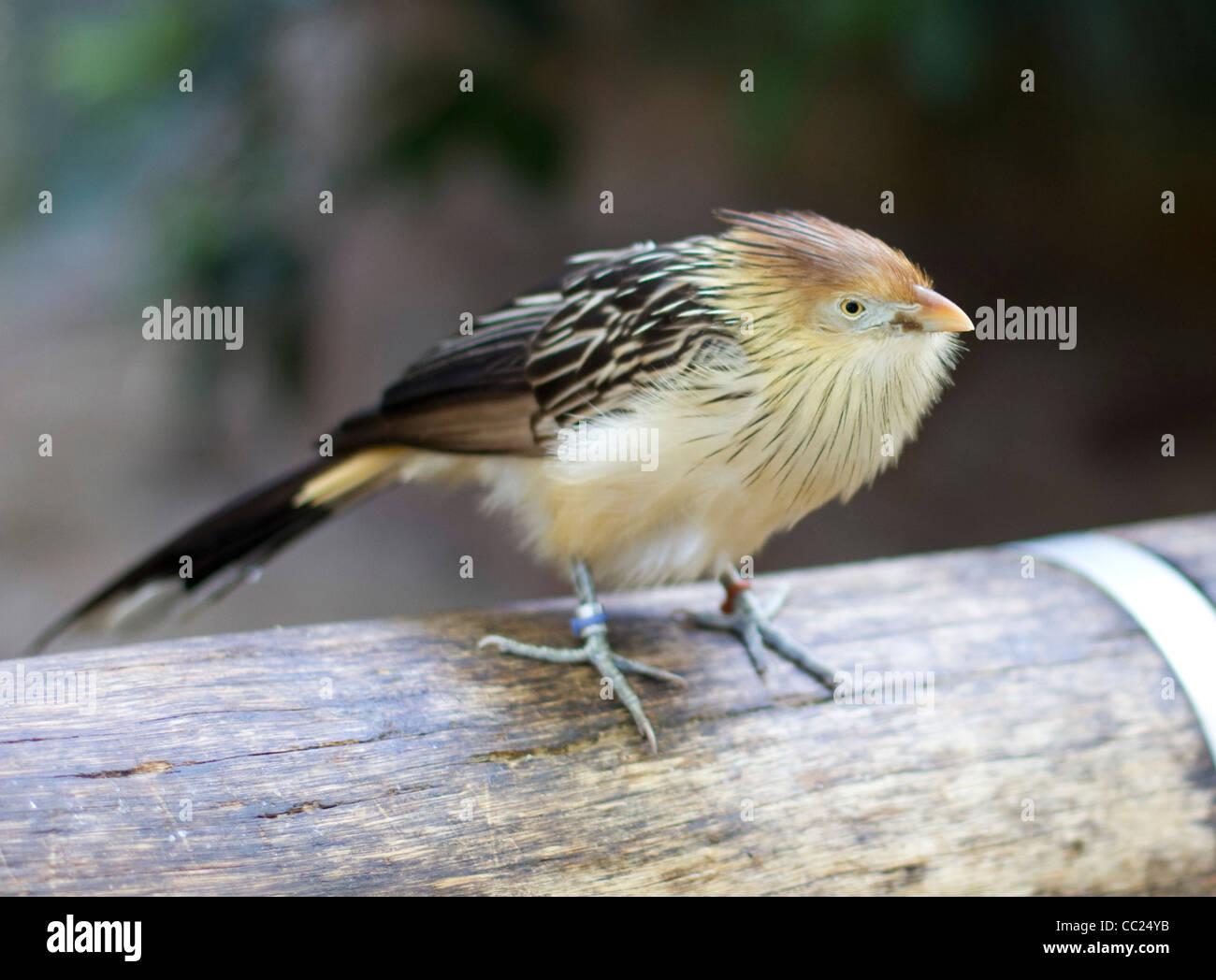 Guira Cuckoo Bird A non-parasitic cuckoo found in South America - Stock Image