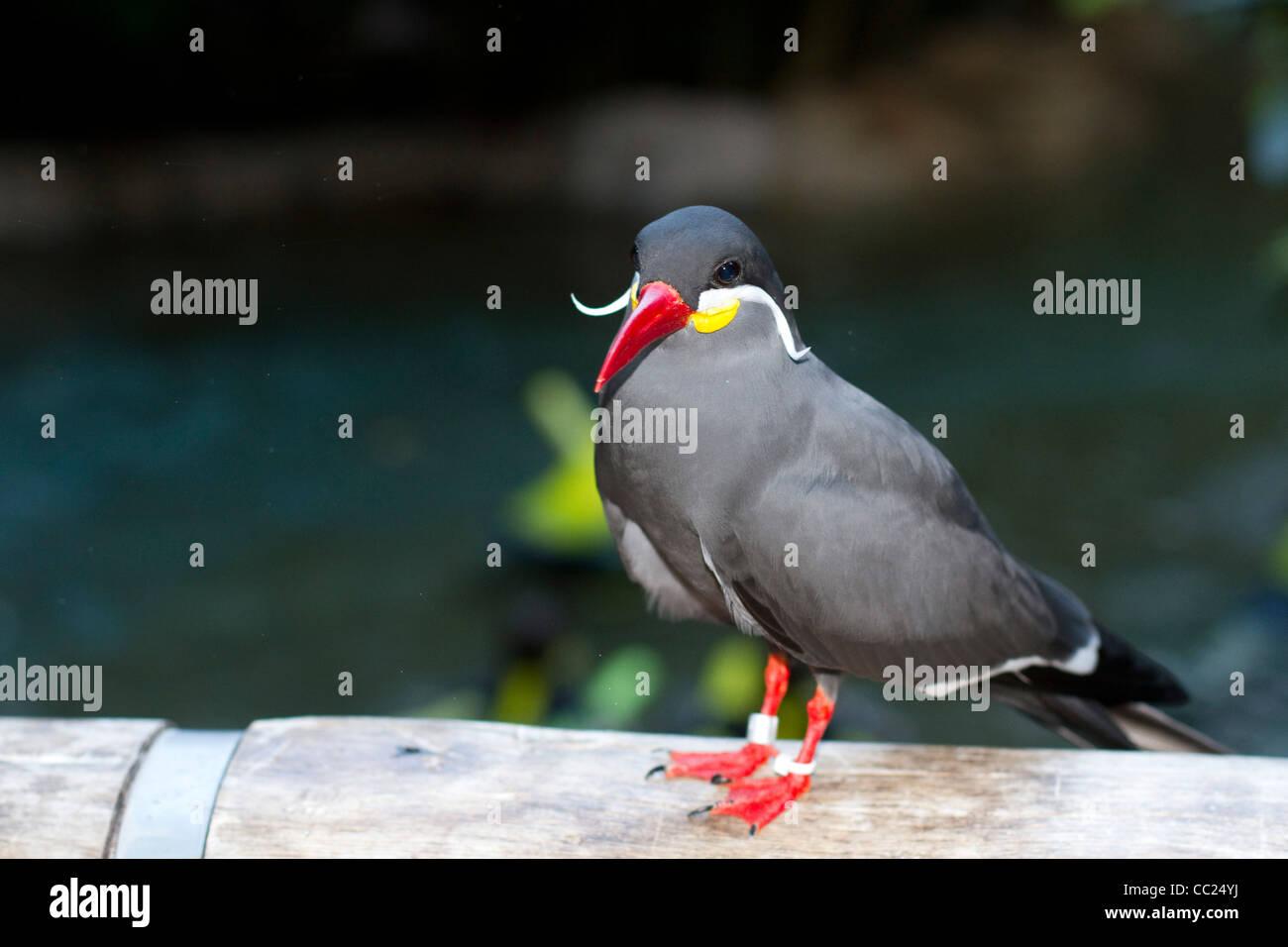 inca tern tropical bird Stock Photo