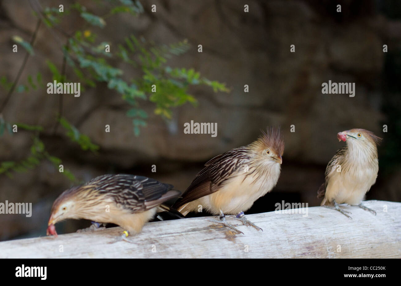 Three Guira Cuckoo birds eating  baby mice This cuckoo bird is non parasitic and is home to South America - Stock Image