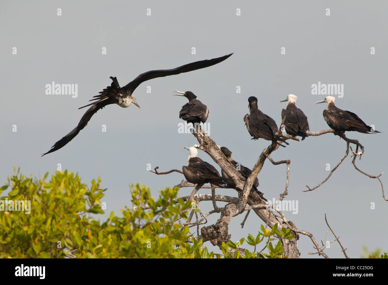 Colony of Magnificent Frigatebird, Fregata magnificens, at Punta Chame, Pacific coast, Panama province, Republic - Stock Image