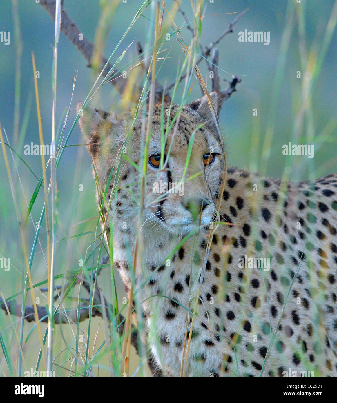 Kruger national Park in South Africa -- best game viewing at affordable rates. cheetah peering through long grass - Stock Image