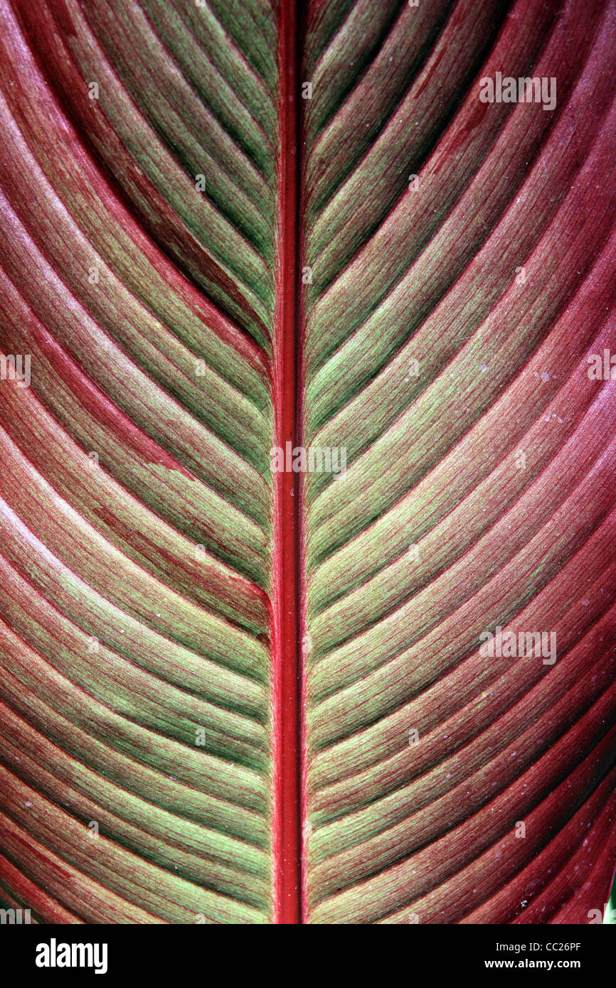 detailed texture of the red sheet tree - Stock Image