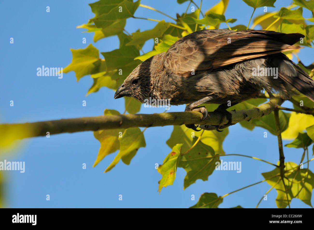 Apostlebird (Struthidea cinerea) - Stock Image