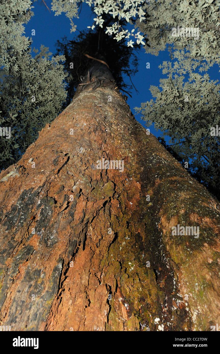 swamp gum, Eucalyptus regnans, worlds tallest flowering plant - Stock Image