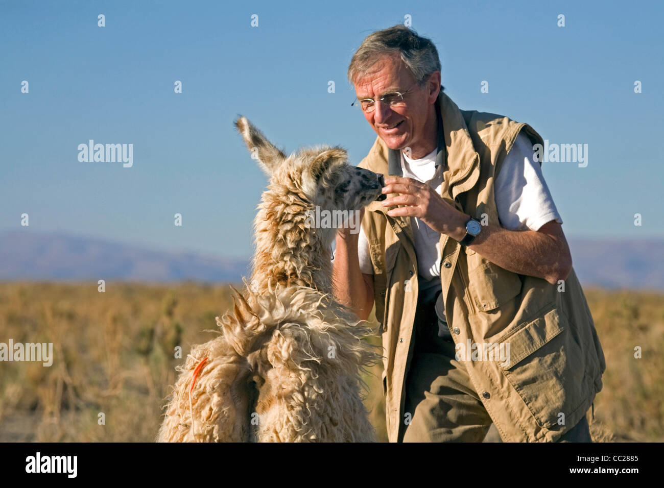 Llama (Lama glama) meets tourist on the isolated Altiplano in Argentina - Stock Image