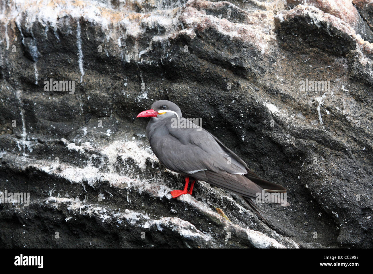 Inca Tern at Caeta Tagus, Isla Isabela, Galapagos - 'only the second ever recorded sighting in the Galapagos' - Stock Image