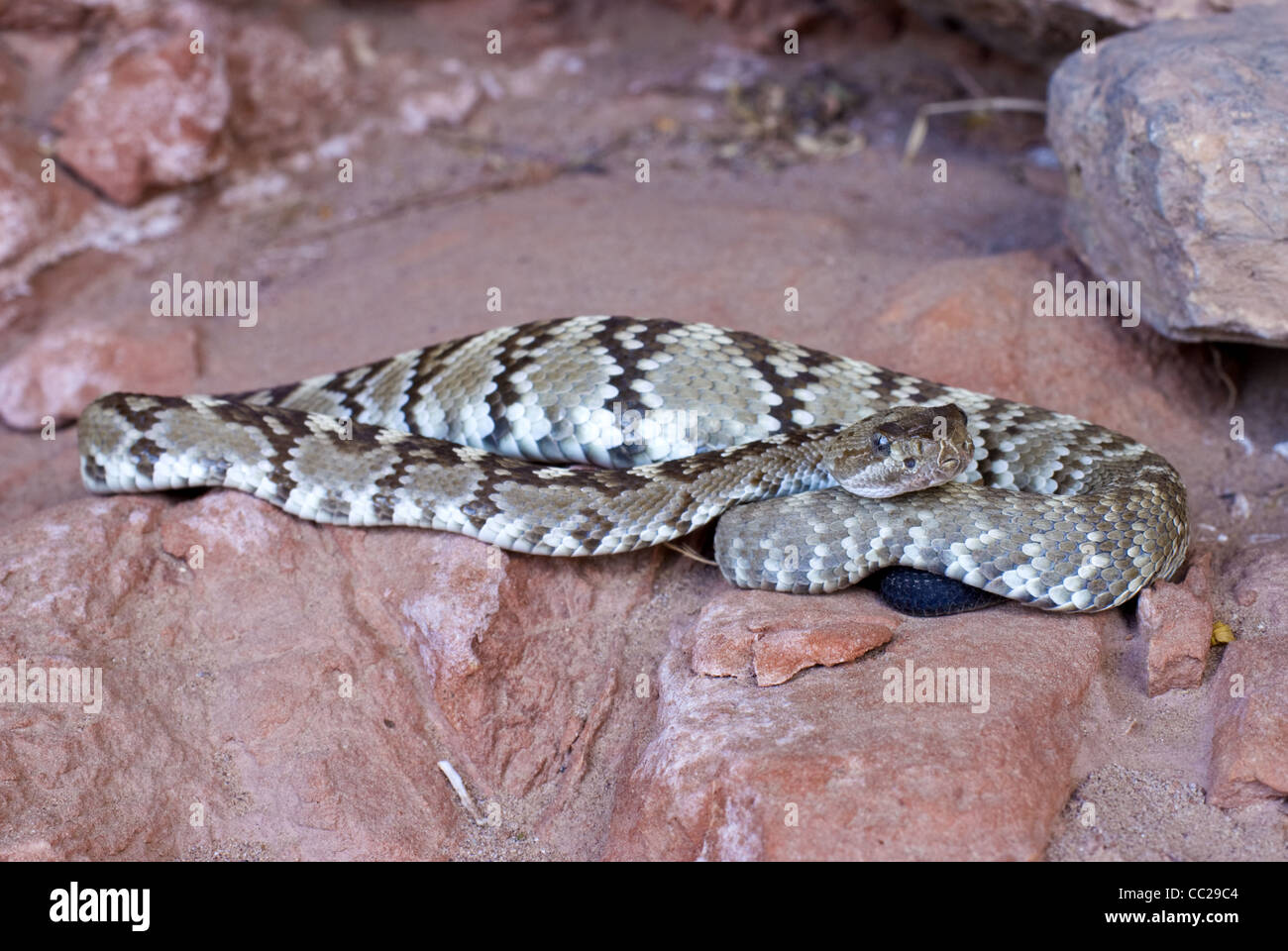 Sub-adult Northern Black-tailed Rattlesnake, (Crotalus molossus molossus), Quebradas, Socorro county, New Mexico, Stock Photo