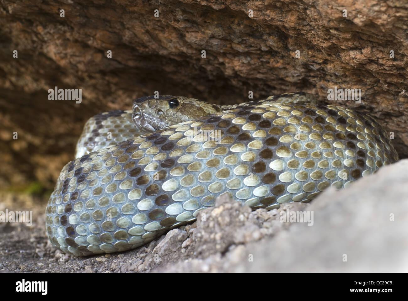 Northern Black-tailed Rattlesnake, (Crotalus molossus molossus), Sandia Mountains, Bernalillio county, New Mexico, Stock Photo