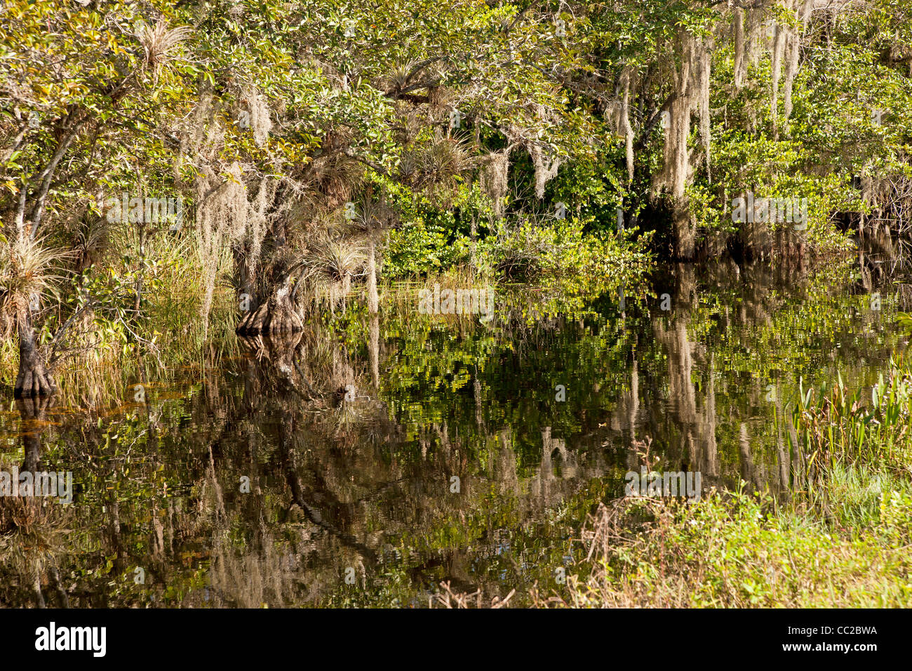 Dense vegetation, Spanish moss in the swamp between Big Cypress National Preserve and Everglades National Park in - Stock Image