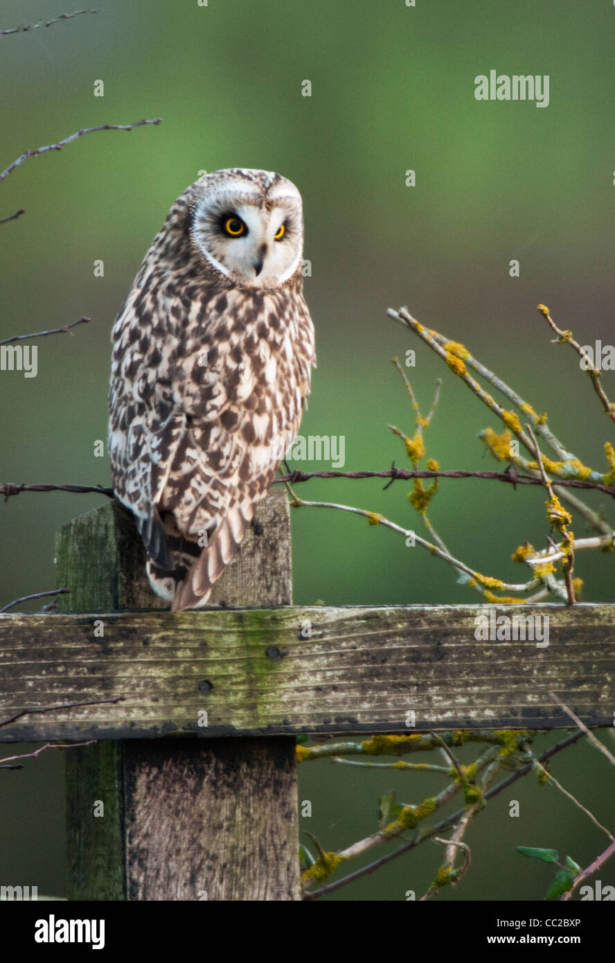 Short-eared Owl(Asio flammeus) perched on a fence post in North Norfolk. - Stock Image