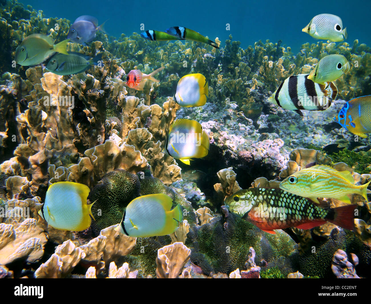 Shoal of colorful tropical fish on a coral reef of the Caribbean sea, Belize - Stock Image