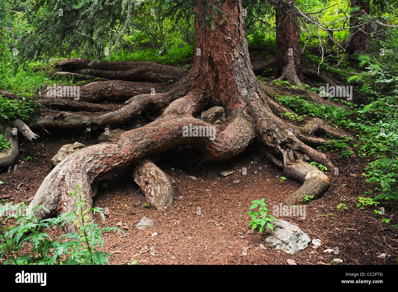 Pine tree root in summer mountain forest - Stock Image