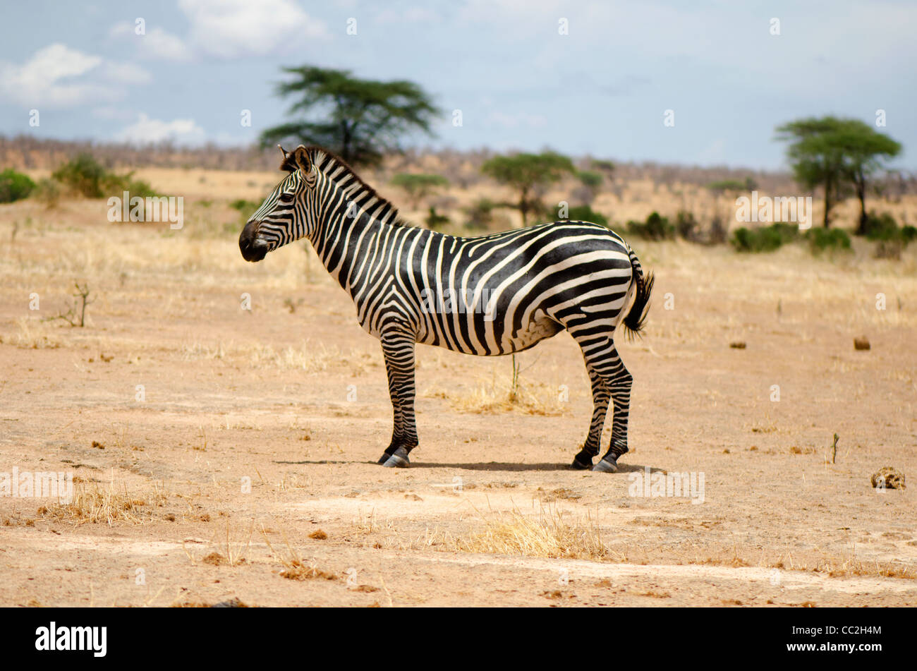 Zebra in the Ruaha National Park, Tanzania - Stock Image