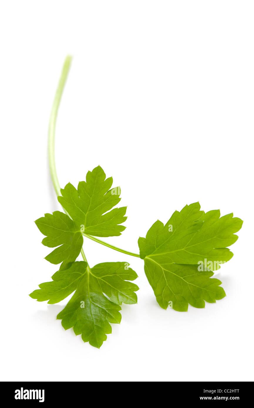 flat leaf parsley close up on white background - Stock Image