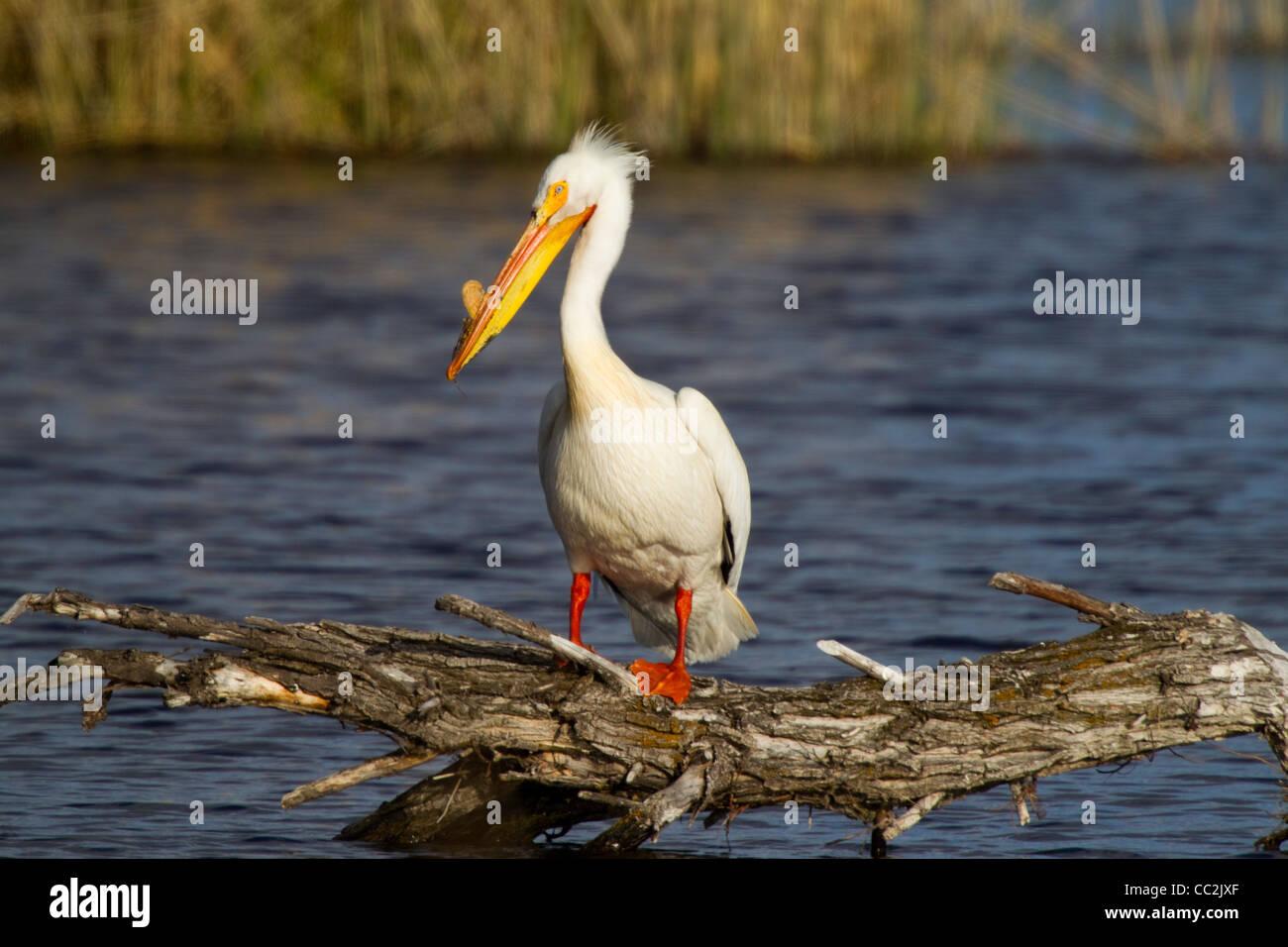 American White Pelican Pelecanus erythrorhynchos Lower Klamath Lake National Widlife Refuge, California, Unites - Stock Image