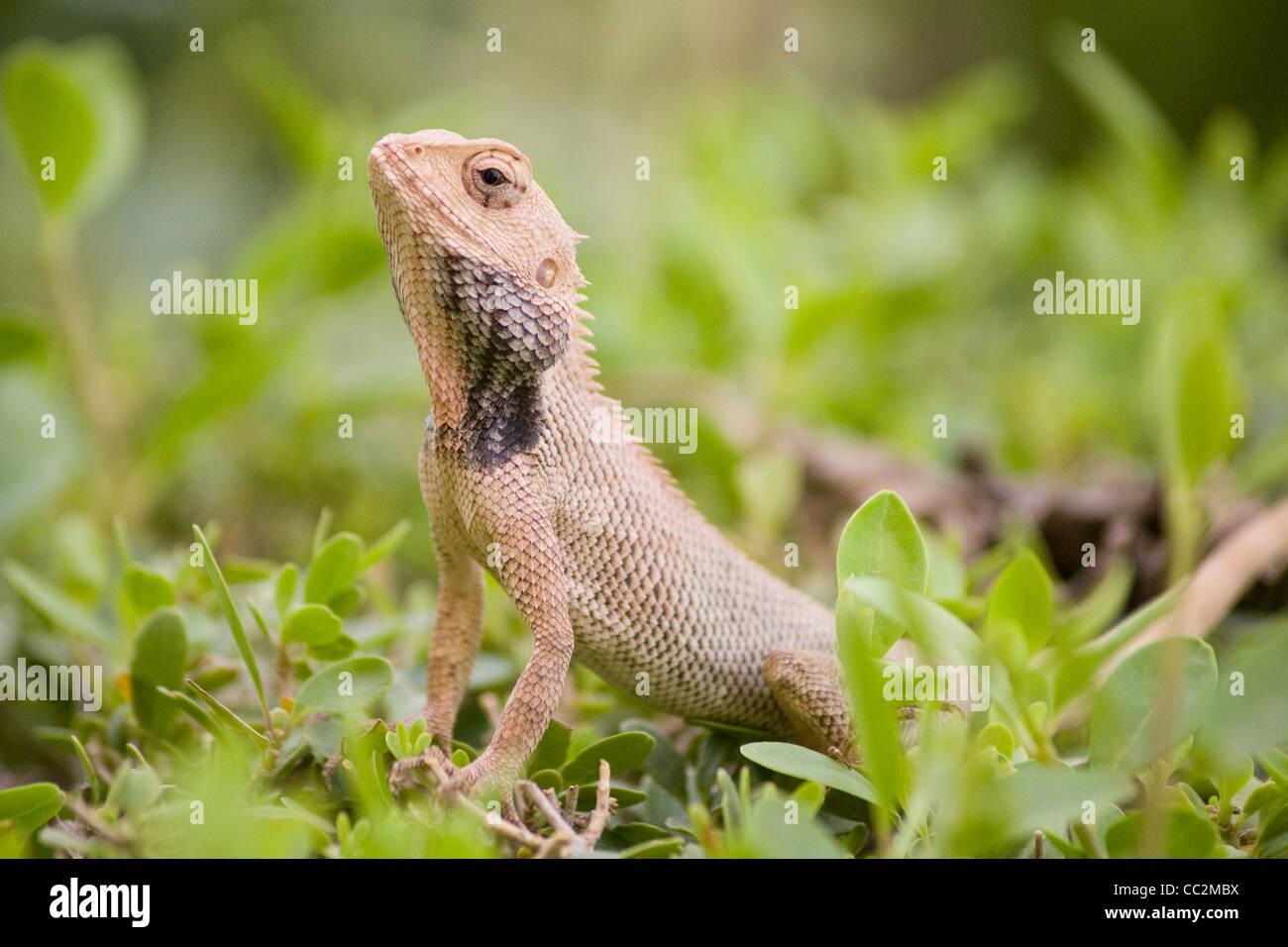 Oriental Garden Lizard, Ranthambore India   Stock Image