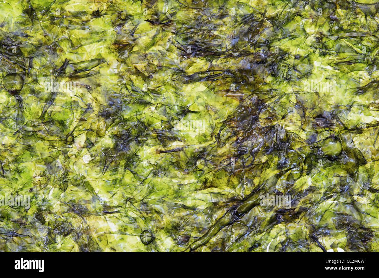 macro image of nori pressed seaweed sheet - Stock Image