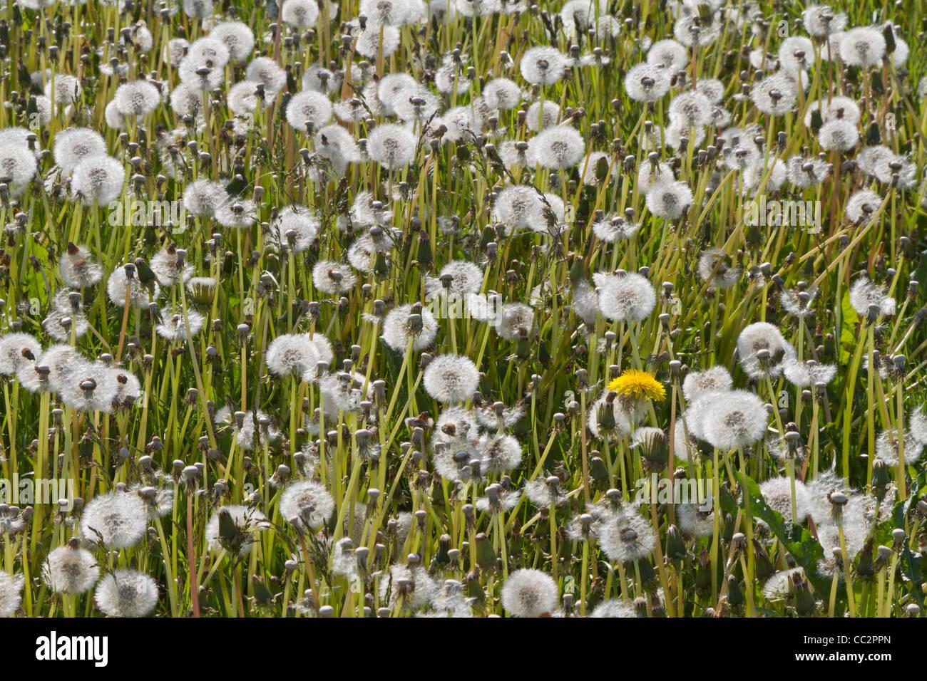 Blowball field - Stock Image
