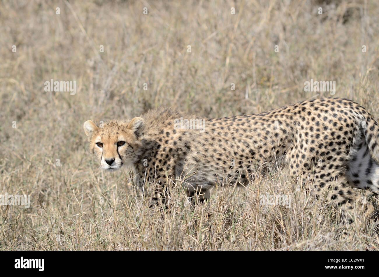 Cheetah cub (Acinonyx jubatus) Serengeti National Park Tanzania Africa - Stock Image