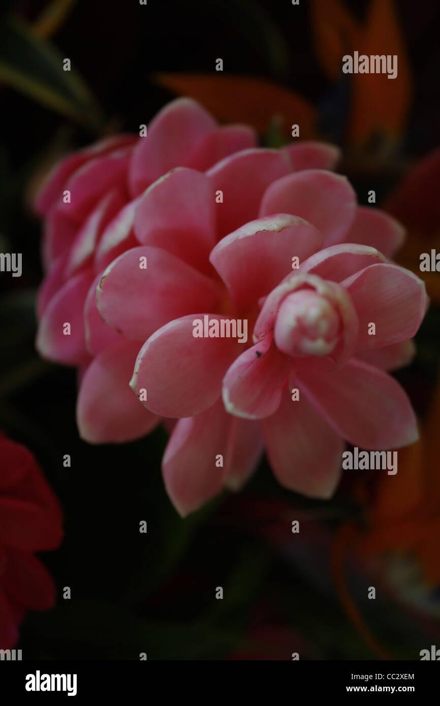 Pink ginger flower stock photos pink ginger flower stock images pink ginger flower stock image mightylinksfo