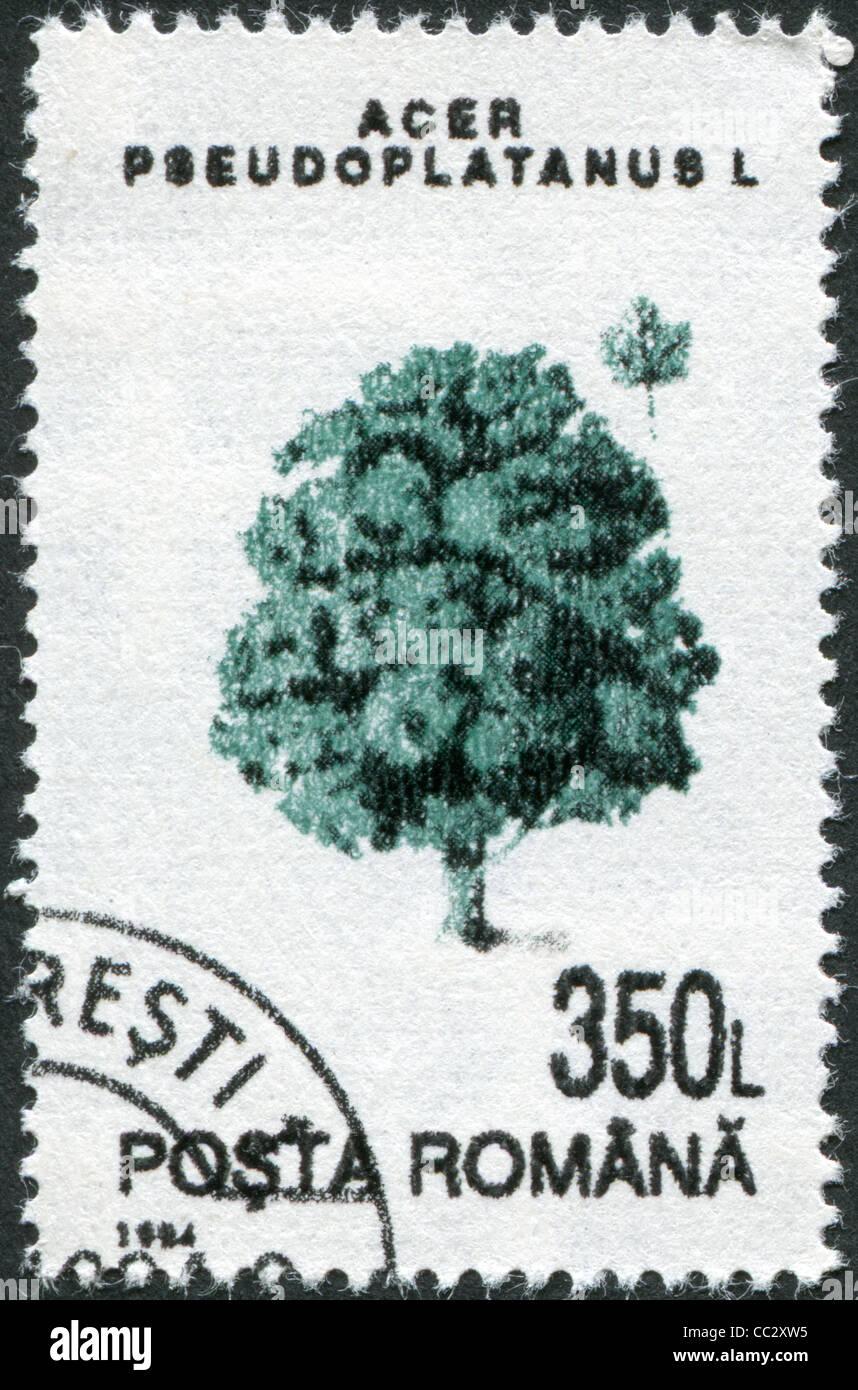 ROMANIA - CIRCA 1994: A stamp printed in the Romania, shows Acer pseudoplatanus, circa 1994 Stock Photo