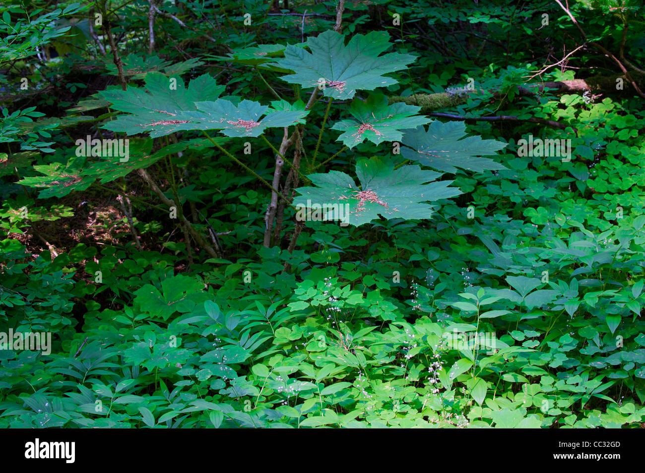 Forest plants in the Bull Run Watershed near Mount Hood, Oregon. - Stock Image