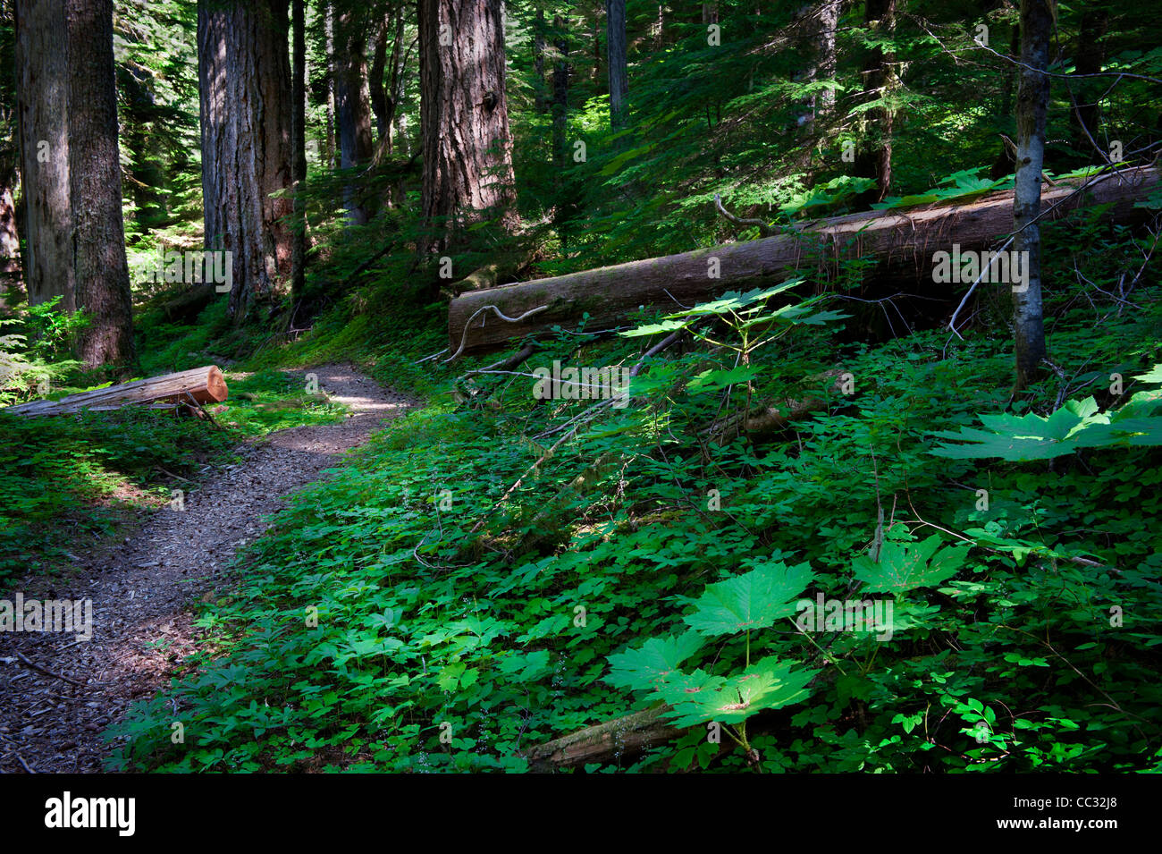Path and forest plants in the Bull Run Watershed near Mount Hood, Oregon. - Stock Image