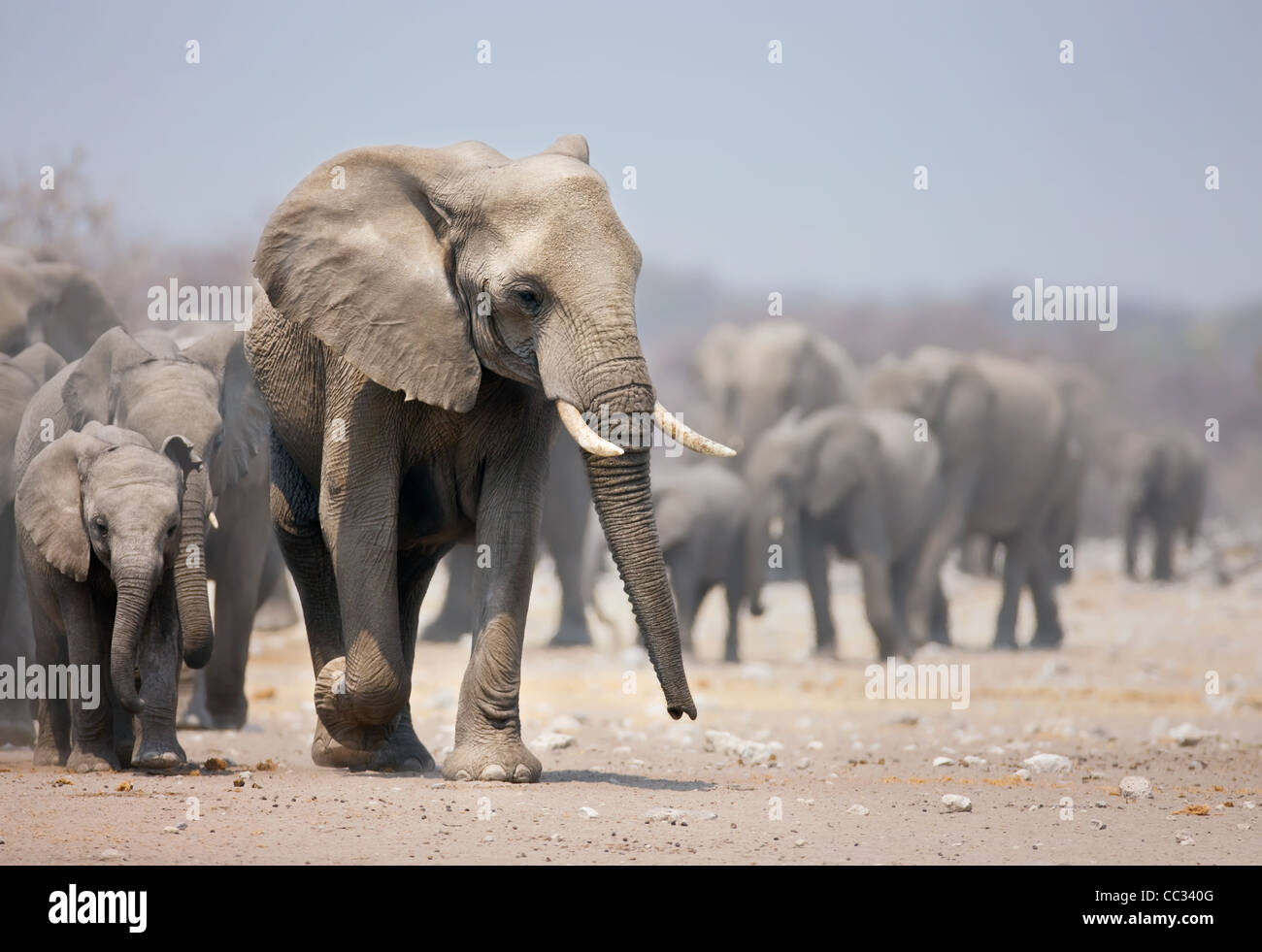 Elephant approaching with a large herd; African elephants; Loxodonta Africana - Stock Image
