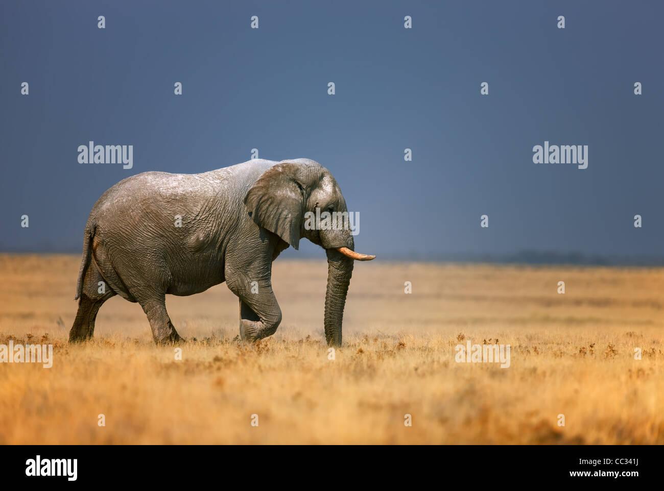 Elephant bull walking in open grassfield; Loxodonta Africana; Etosha - Stock Image