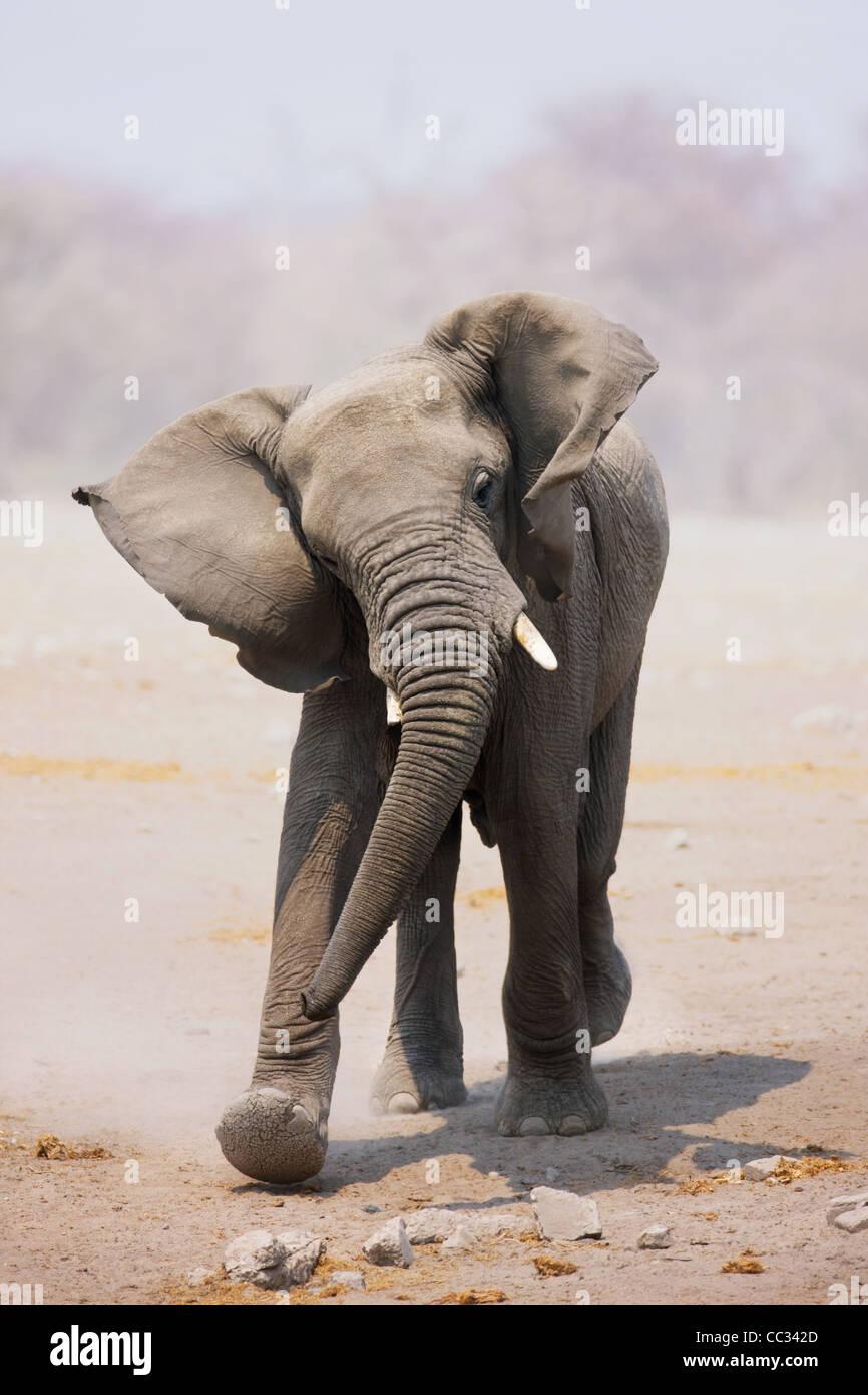 Young Elephant mock charging; Loxodonta Africana; Etosha - Stock Image