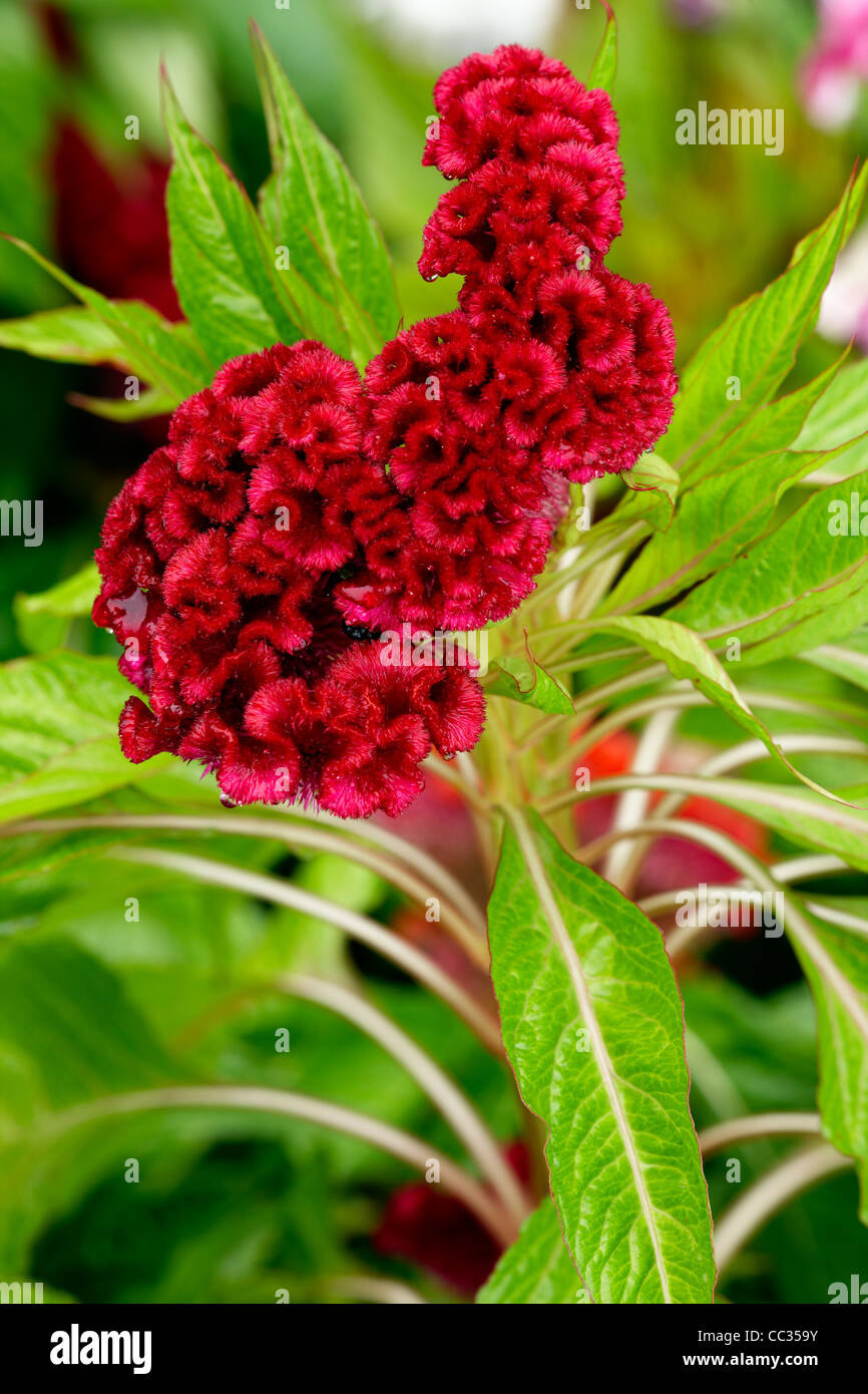 Close up of a Cockscomb flower - cristate or crested variety of the species Celosia argentea. Scientific name: Celosia Stock Photo