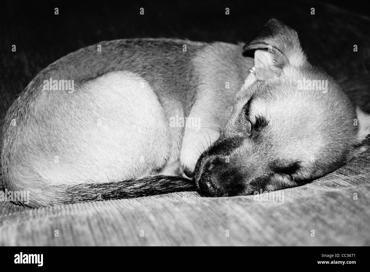 SONY DSC, Our sleeping pup. - Stock Image