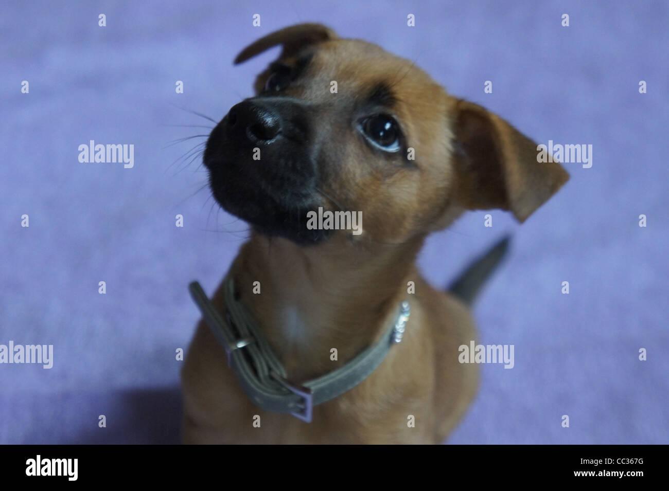 SONY DSC, Puppy in training - Stock Image