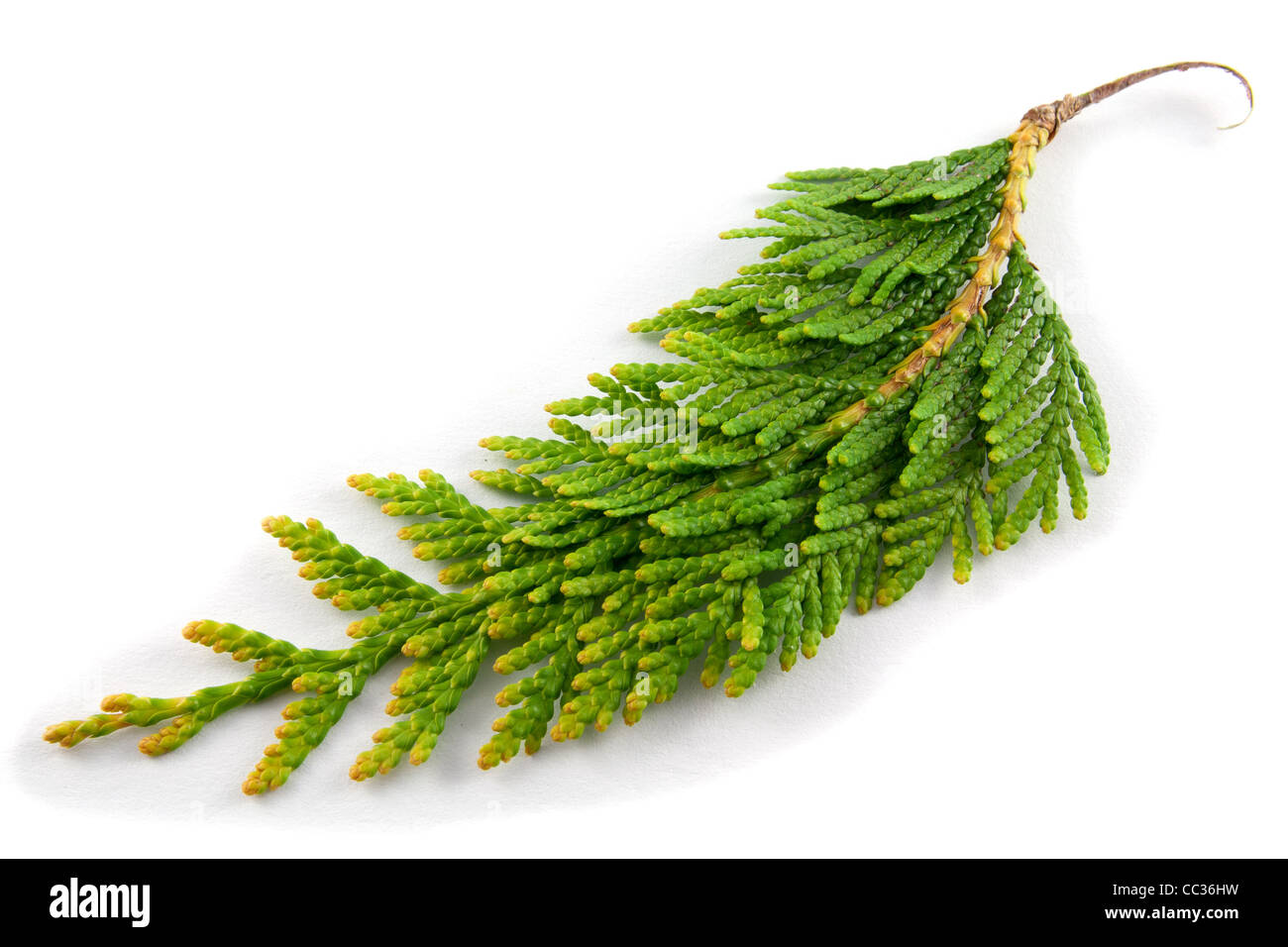 Close-up photo of thuja twig on a white background - Stock Image