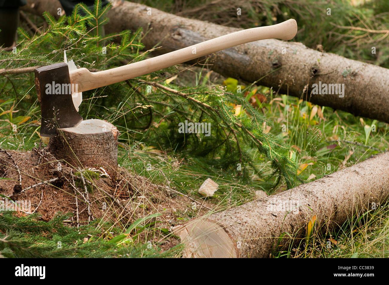 lumberjacks cut trees in the woods Stock Photo