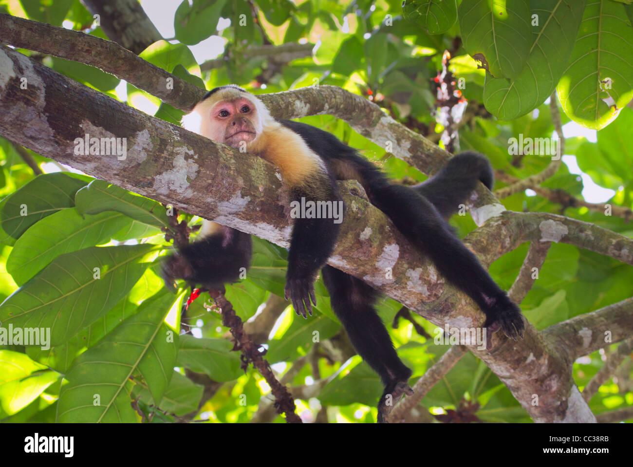 white-headed capuchin (Cebus capucinus) taking rest in a tree Stock Photo